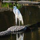 Alligator Rodeo by Franklin Lindsey