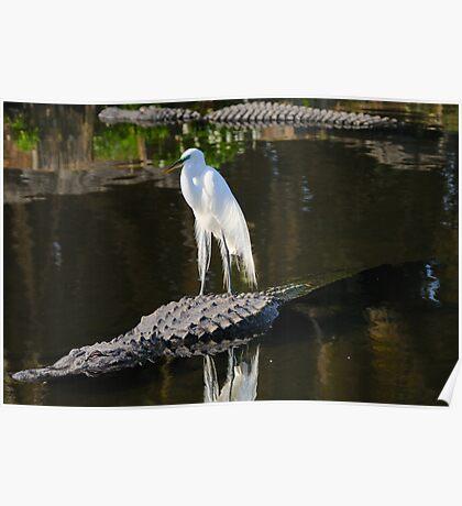 Alligator Rodeo Poster