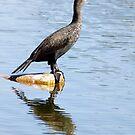Florida Cormorant by Deborah  Benoit