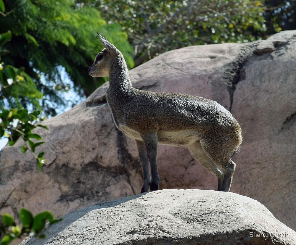 African Kilpspringer San Diego Zoo by Sherry Durkin