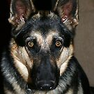 Misty - German Shepherd by Sherry Durkin