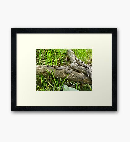 Northern Water Snake (Nerodia sipedon) Framed Print