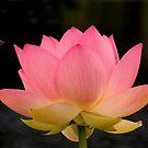 Lotus 2 by Charles Kosina