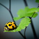 Lady Beetle by BoB Davis