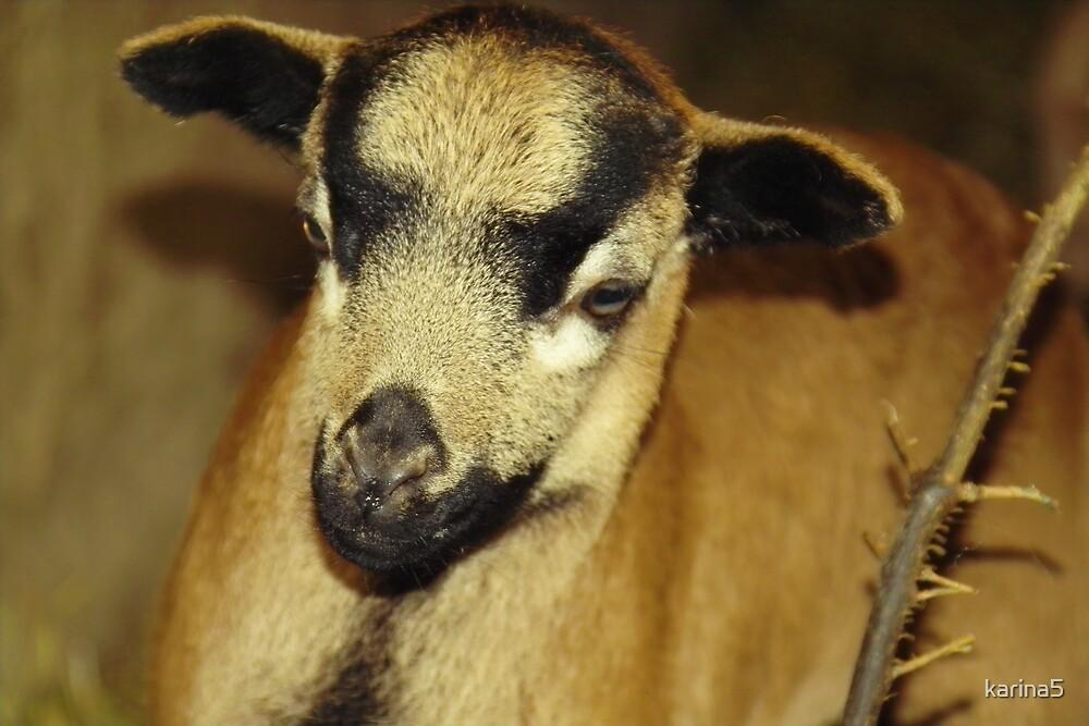 Cameroon sheep by karina5