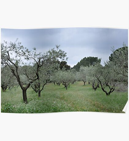 French Olive Grove Poster