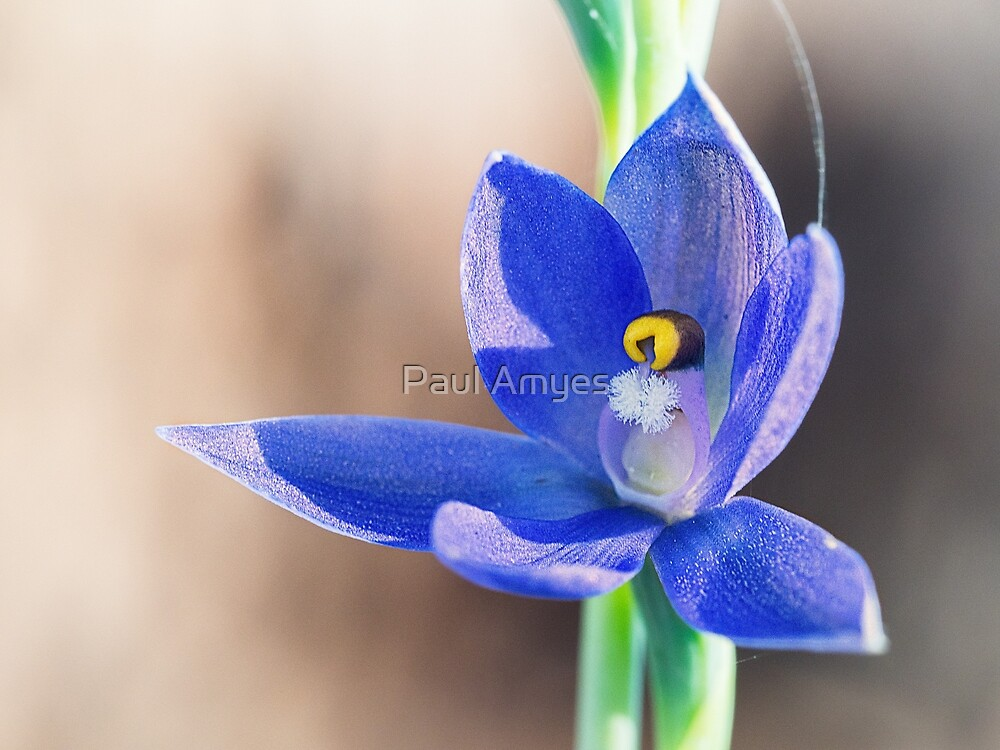 Granite Sun Orchid by Paul Amyes