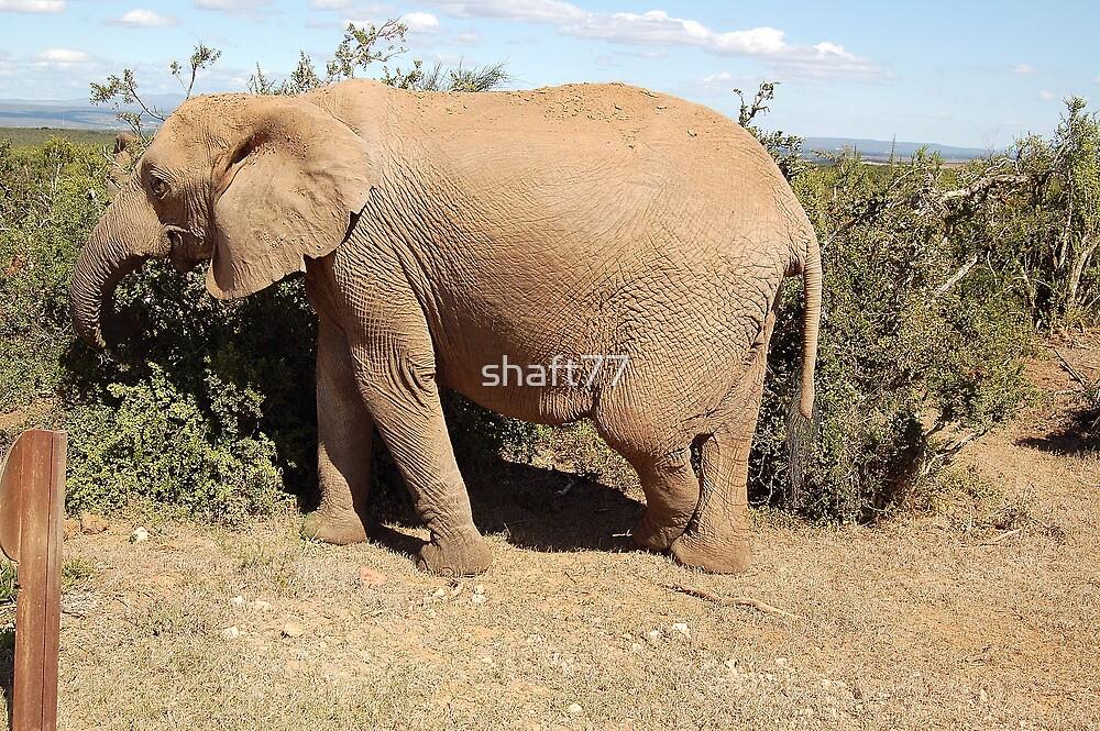 elephant cross legged by shaft77