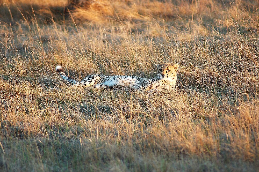 cheetah resting by shaft77