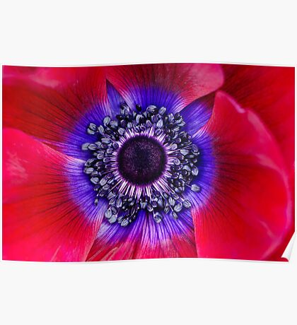 Red and Blue Poppy Poster