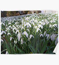 Snowdrops at Damerham (UK) Poster