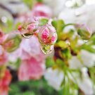 Cherry Blossom Droplet by everpresent