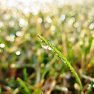 Dewdrop Morning by everpresent