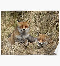 Two  foxes Poster