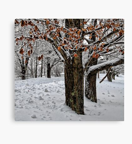 Maple Trees - Holding Onto Their Color Canvas Print
