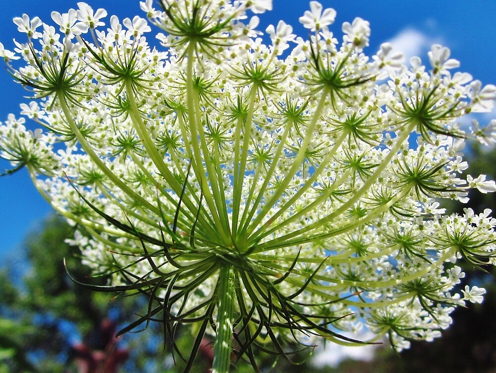 Queen Anne's Lace by everpresent