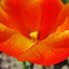 Tulip Petals by everpresent