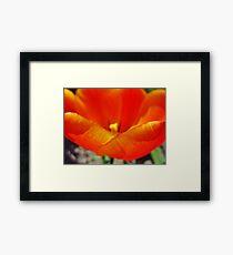 Tulip Petals Framed Print