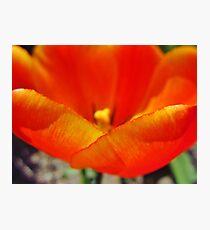 Tulip Petals Photographic Print
