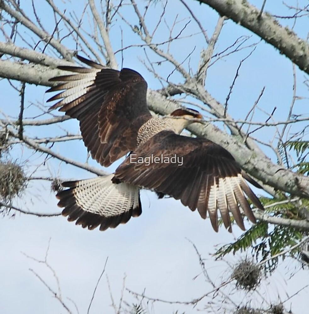 crested caracara mexican eagle