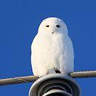 Snowy Owl by whisperjo
