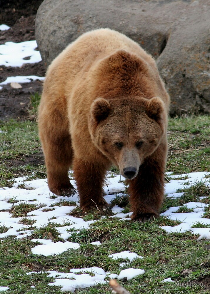 Grizzly Bear by AnnDixon