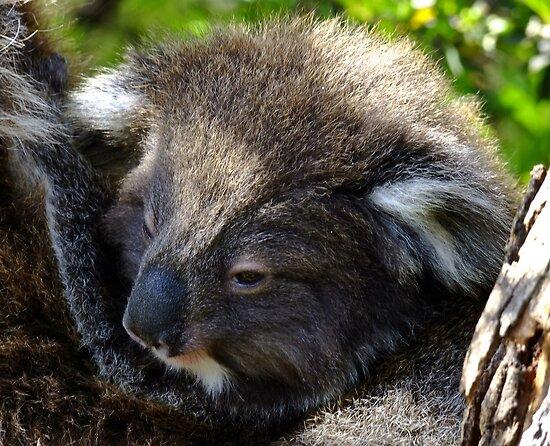 Koala on the roadside - Victoria by Karen Stackpole