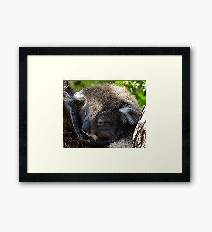 Koala on the roadside - Victoria Framed Print