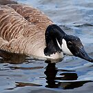 Visit with a Canada Goose ... by Diane Blastorah