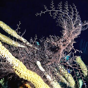 Giant Basket Star at night by Scubagirlamy