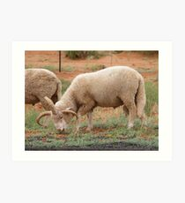 Three horned Sheep Art Print