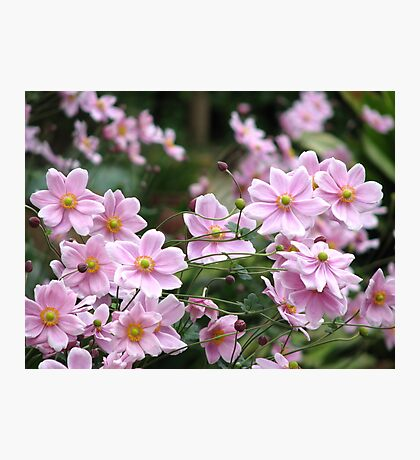 Pink Windflowers! Photographic Print