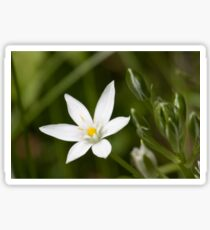Star Of Bethlehem Sticker