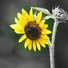 Sunflower (Selective Coloring) by kkphoto1