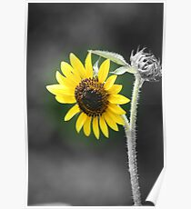 Sunflower (Selective Coloring) Poster