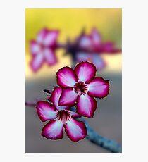 Colour Of Life XXXIX (Impala Lily) Photographic Print