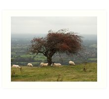South Down Sheep Art Print