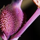 Canna Lily by GailD