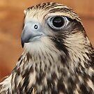 Falcon Feathers by John Dalkin
