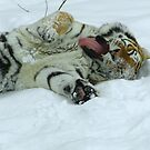 Ahh!  Now That Feels Good (Amur Tiger) by Robert Miesner