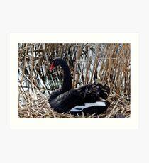 Black Swan on nest Art Print