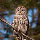 Barred Owl  by Daniel  Parent
