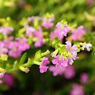 Pink flowers by pulen
