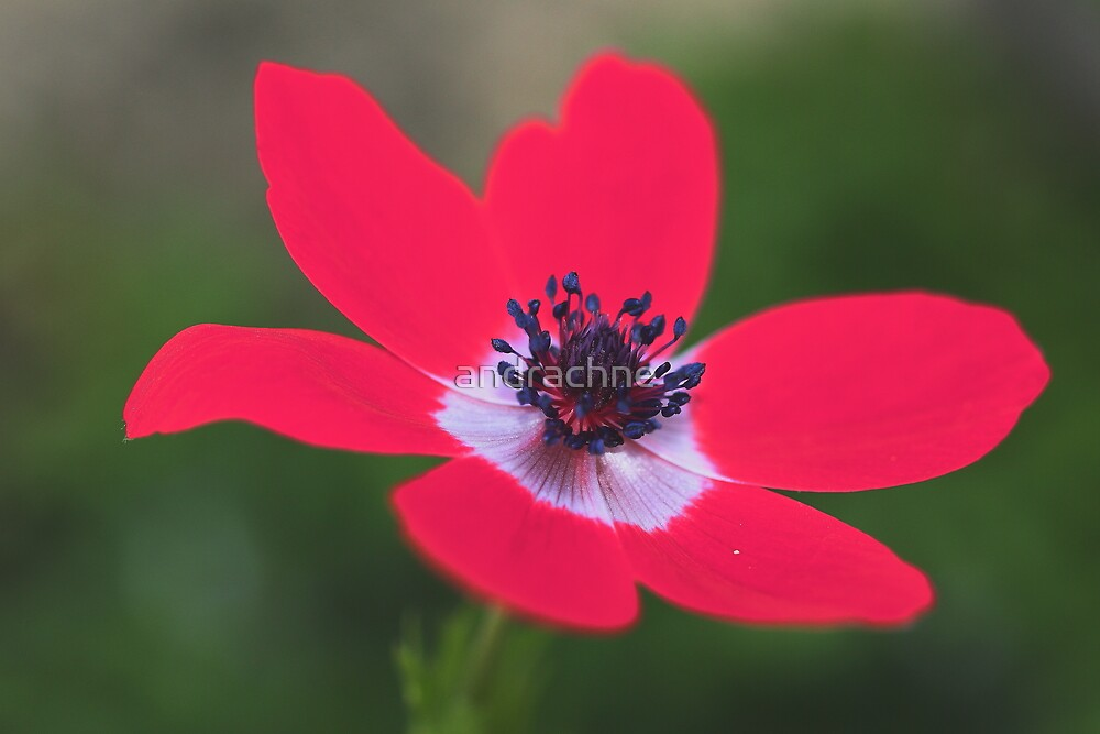 Anemone coronaria by andrachne