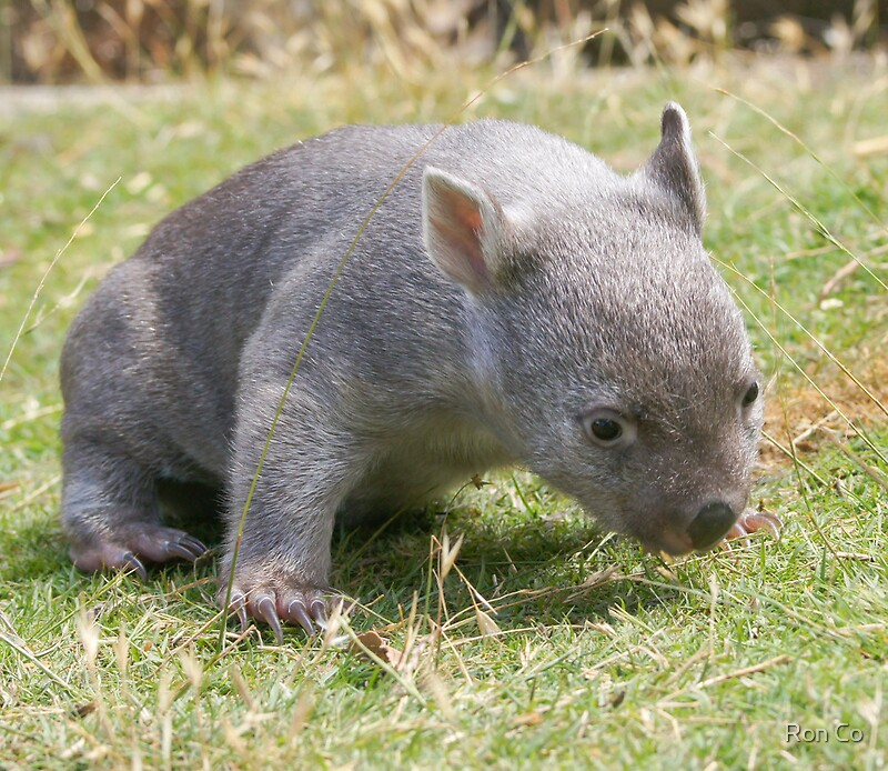 """Baby Wombat: """"This Is Harder Than It Looks --- Tunna The Baby Wombat"""