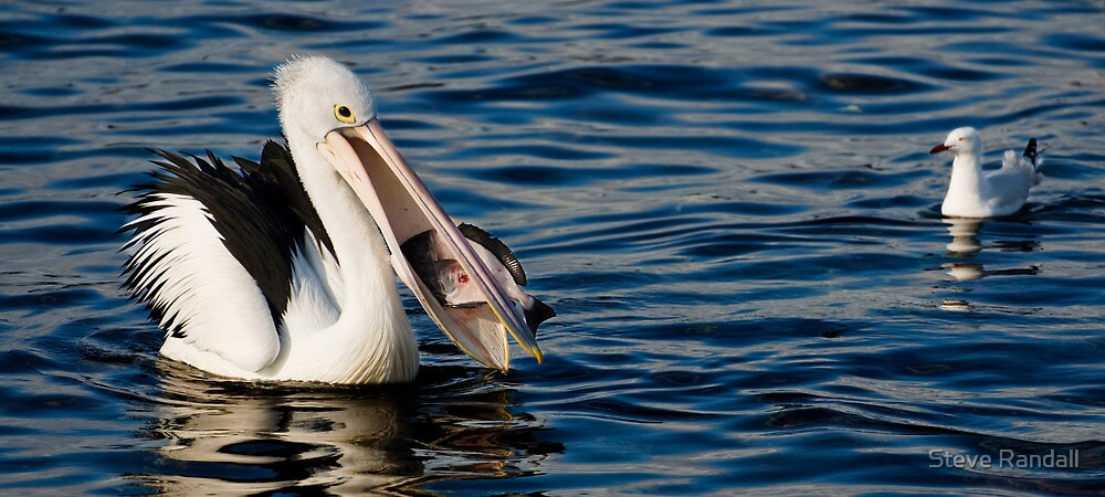 Pelican Feeding with Sea Gull in waiting by Steve Randall