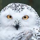 Snowy Owl by J Jennelle