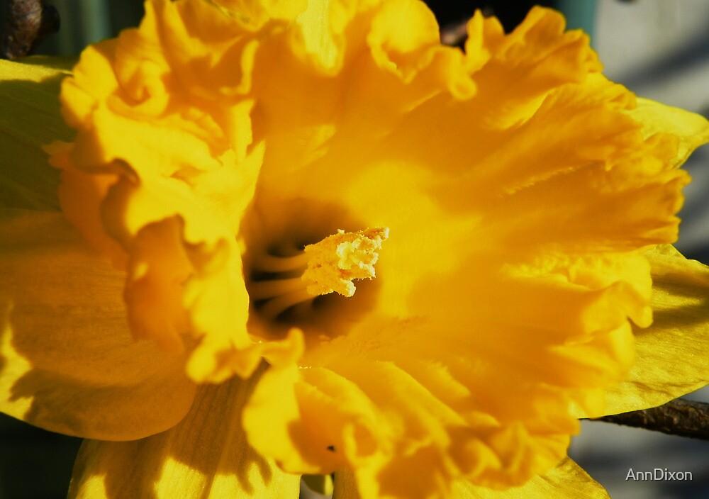 Daffodil Macro by AnnDixon