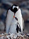Lullaby (Gentoo Penguin & Chick, Port Lockroy, Antarctica) by Krys Bailey