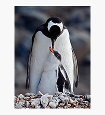 Lullaby (Gentoo Penguin & Chick, Port Lockroy, Antarctica) Photographic Print